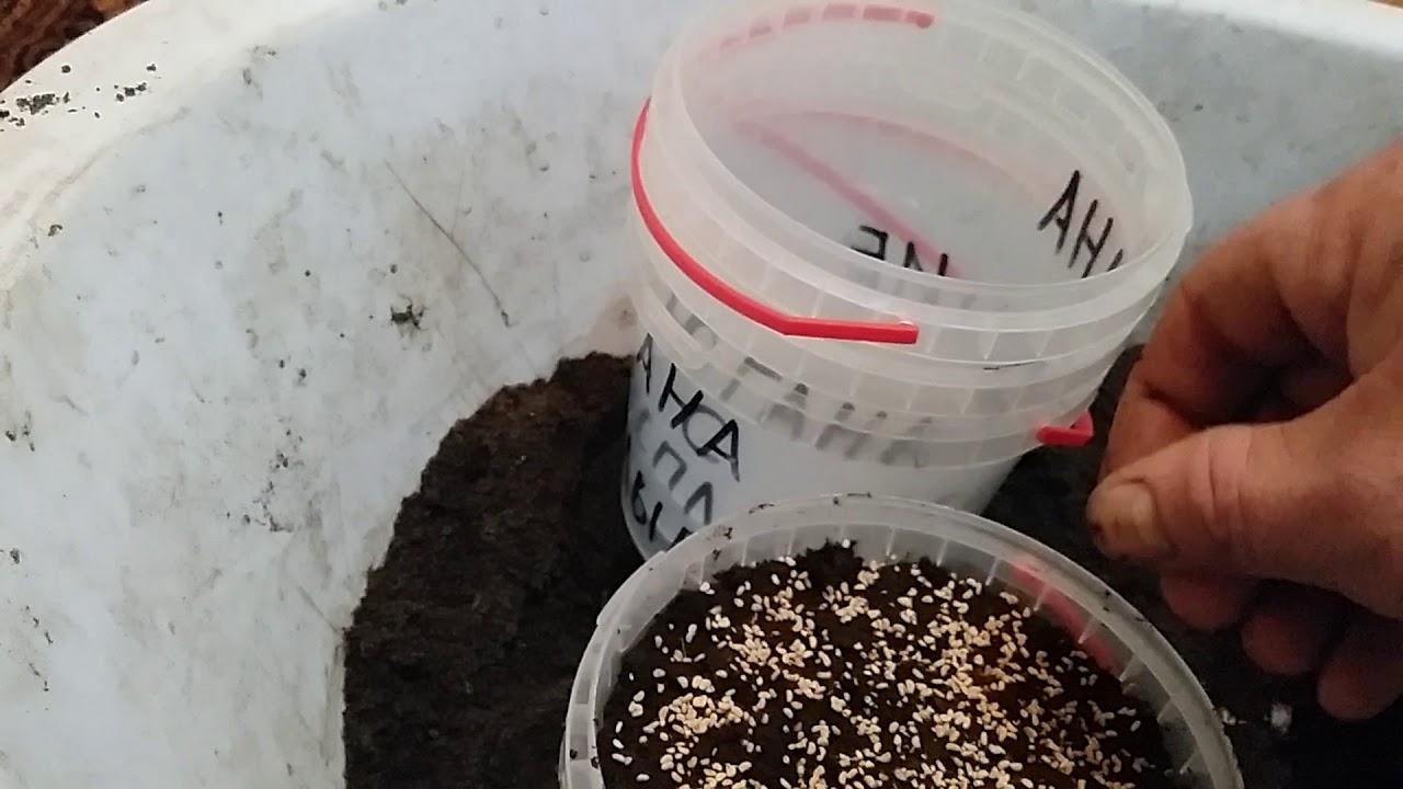 Как вырастить малину из семян - мы дачники