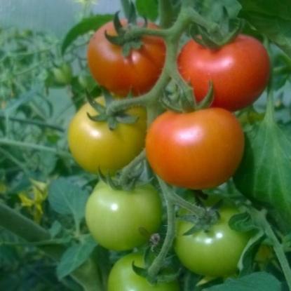 Томат черри клубничный f1: характеристика и описание сорта, урожайность с фото