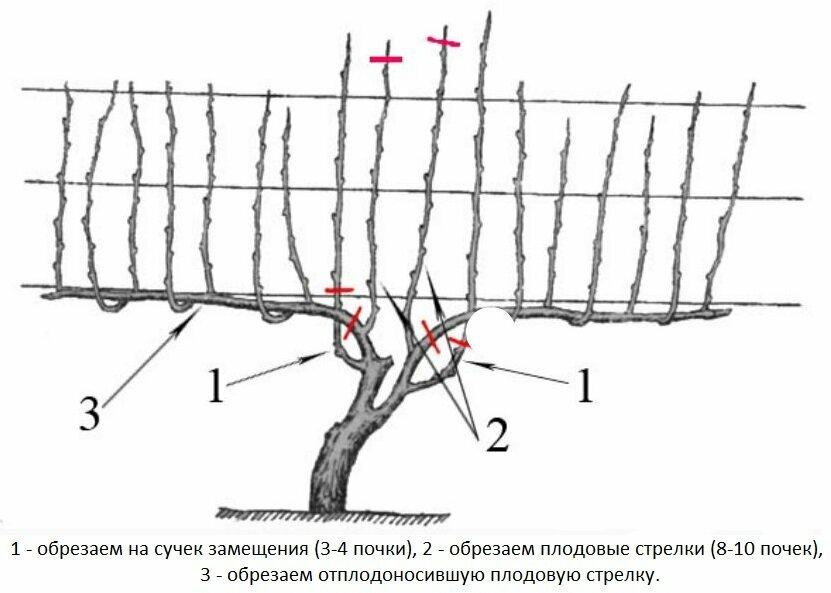 Виноград изабелла – характеристика сорта и особенности выращивания
