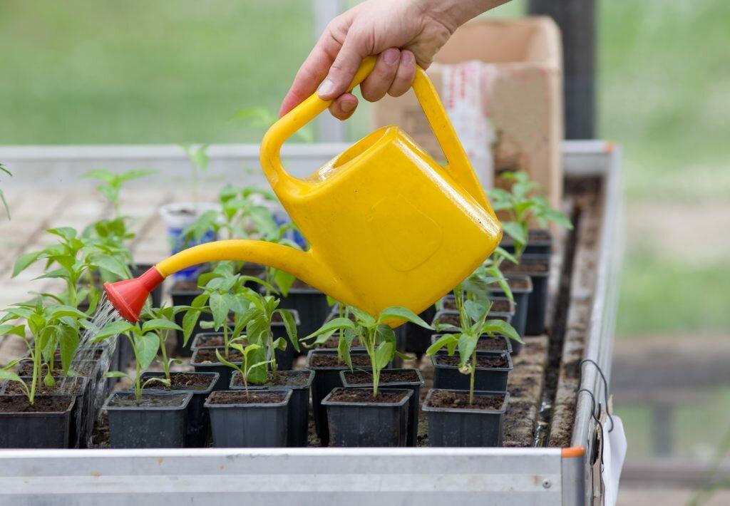 Посев, выращивание и уход за рассадой
