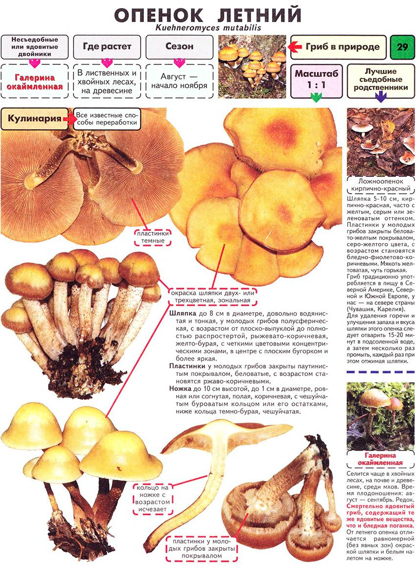 Какие грибы растут весной: самые первые, самые ранние