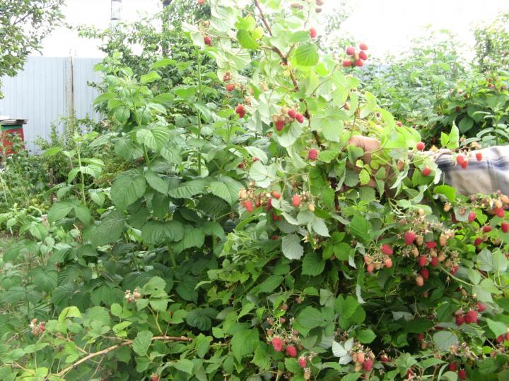 Малина посадка и уход в открытом грунте: выбор сорта, как сажать, фото