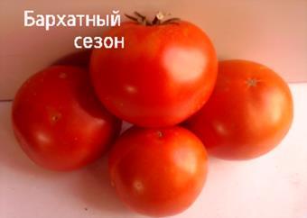 Описание сорта томата бархатный сезон, его характеристика и урожайность – дачные дела