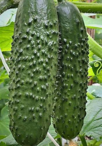 Пчелоопыляемые огурцы: лучшие сорта семян для открытого грунта и теплицы