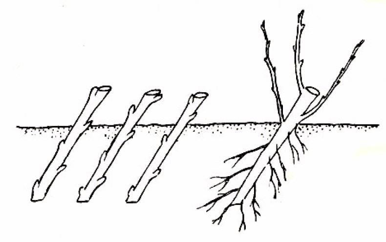 Как укоренять ветки яблони: черенками или лучше прикопать ветку для укоренения