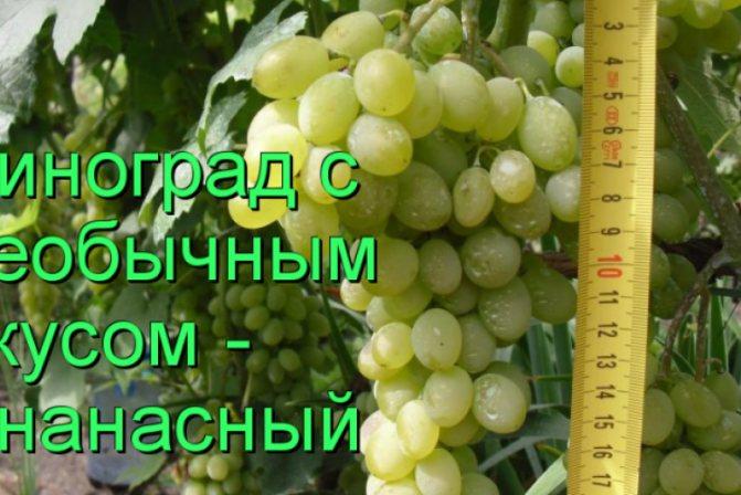 Виноград красностоп: описание сорта, посадка и уход, размножение, отзывы с фото