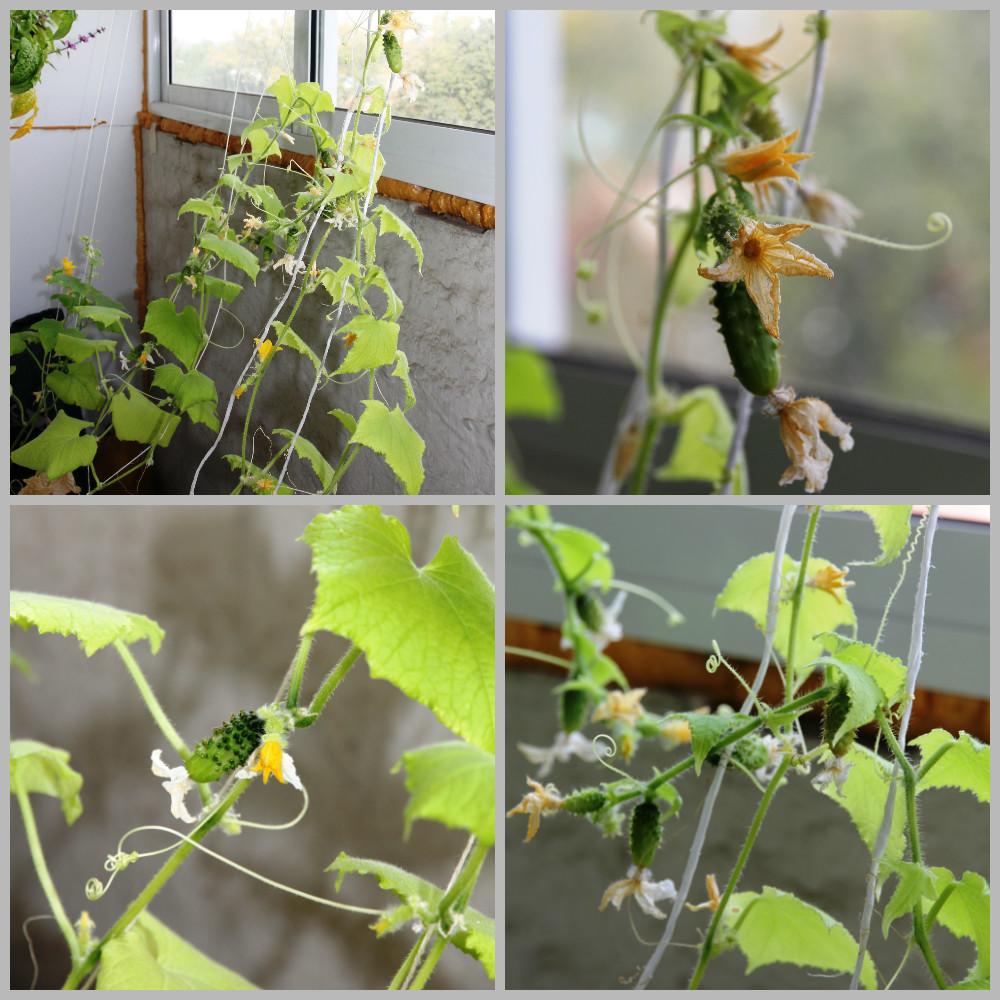 Огурцы на подоконнике выращивание и уход за рассадой, фото и видео