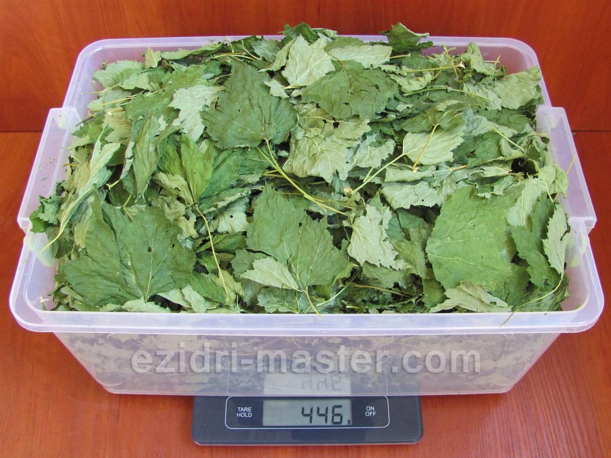 Как собирать и сушить листья смородины для чая