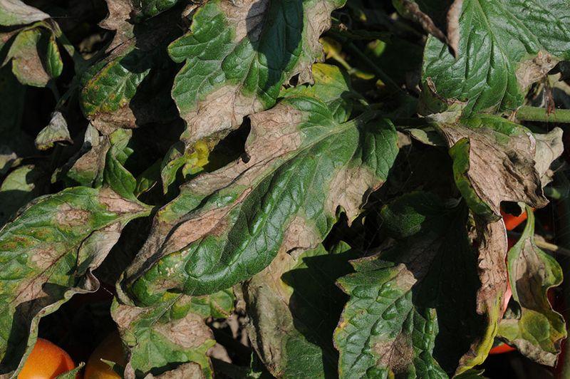 Альтернариоз томатов фото описание и лечение, как бороться с бурой пятнистостью на помидорах