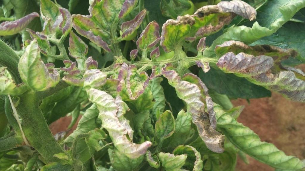 Разбираемся в причинах и решаем проблему:почему вянут листья у свеклы и что делать для ее лечения?