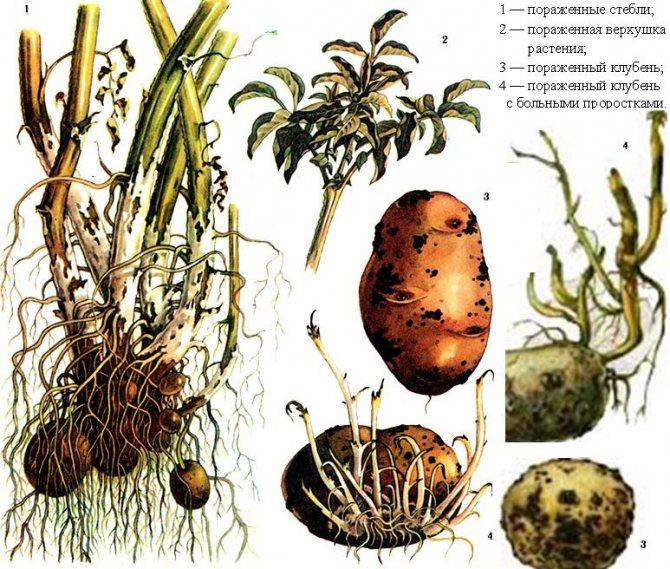 Парша на картофеле: методы борьбы с болезнью