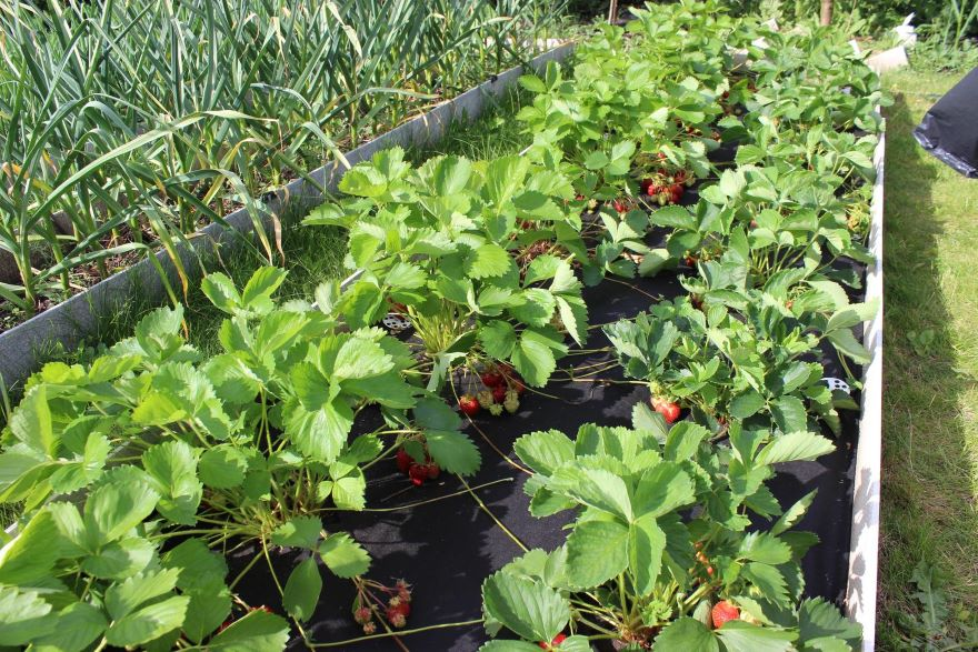 Как выращивать клубнику в открытом грунте в сибири - сад и огород