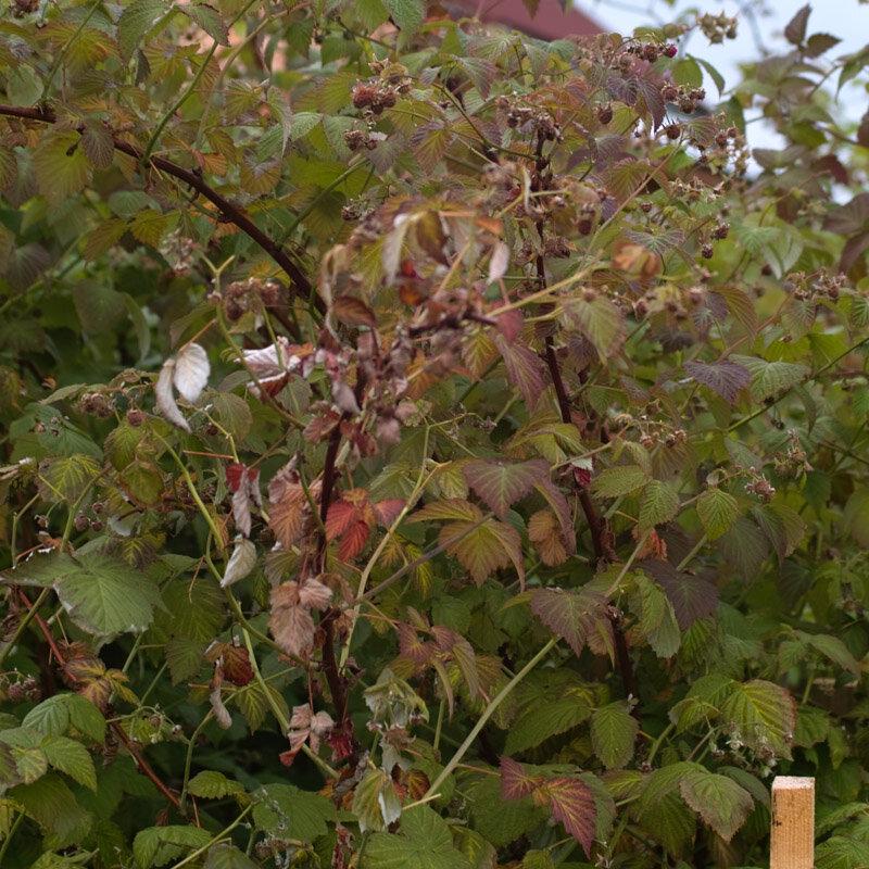 Сохнет малина. как бороться с засыханием стеблей и ягод.
