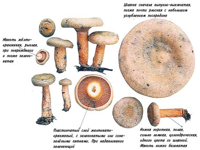 Дрожалка оранжевая - уникальный лечебный гриб