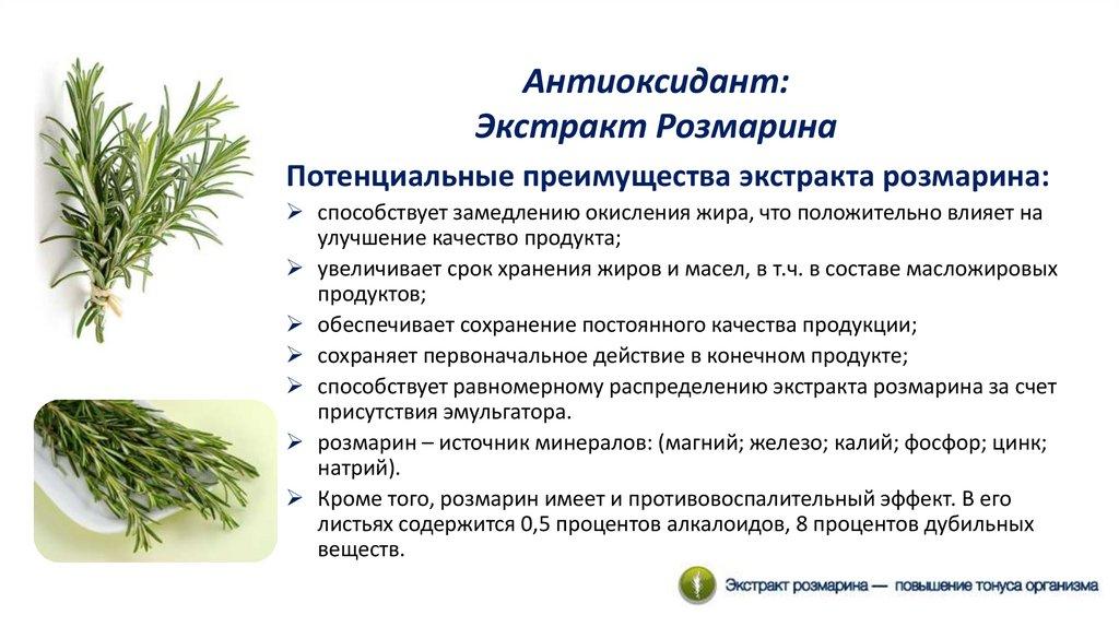 Розмарин: лечебные свойства и противопоказания, польза и вред, применение