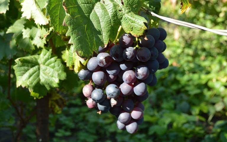 Как бороться с осами на винограде. как защитить и избавиться от ос на винограде во время его созревания, что делать для борьбы
