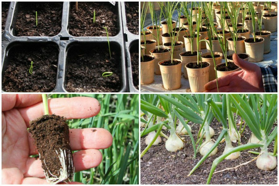 Как выращивать лук порей из семян через рассаду: посев, уход, хранение  