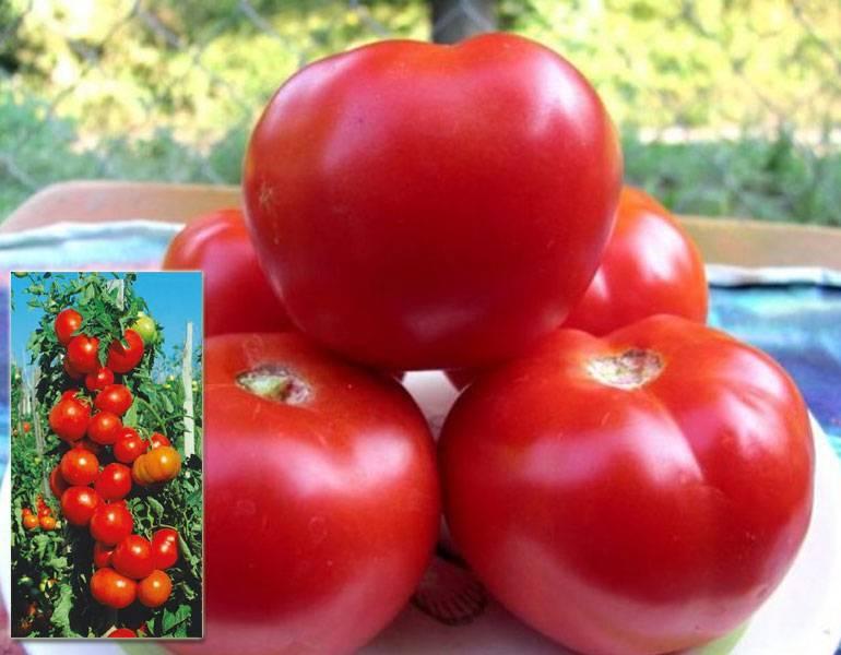 """Томат """"красным красно f1"""": описание сорта, выращивание, высота помидорного дерева, характеристика и фото русский фермер"""