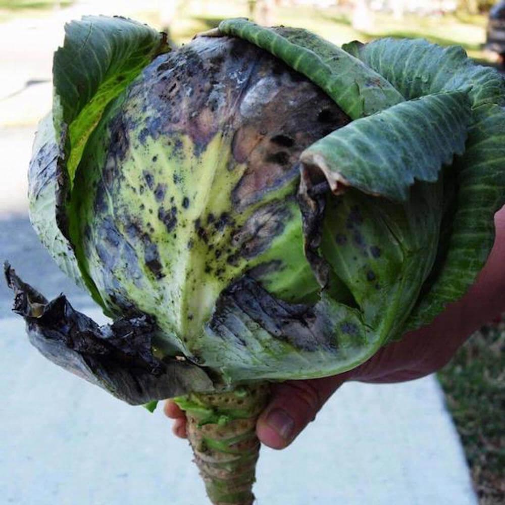 Как лечить и бороться с болезнями и вредителями капусты - фото