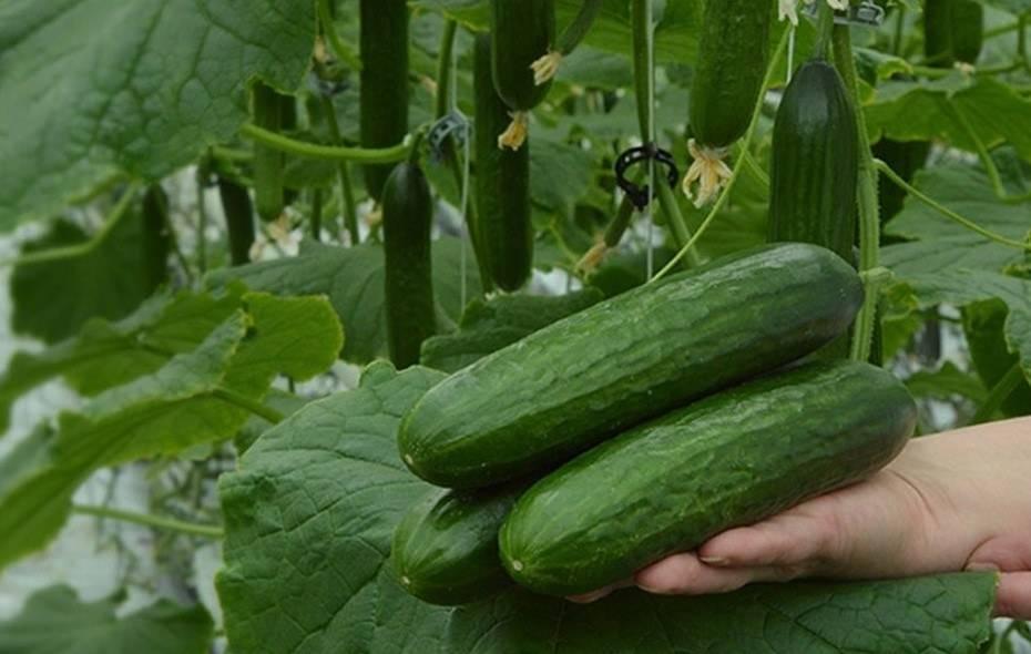 Как вырастить огурцы: посадка и уход в открытом грунте, хороший урожай на грядке, фото здоровых растений