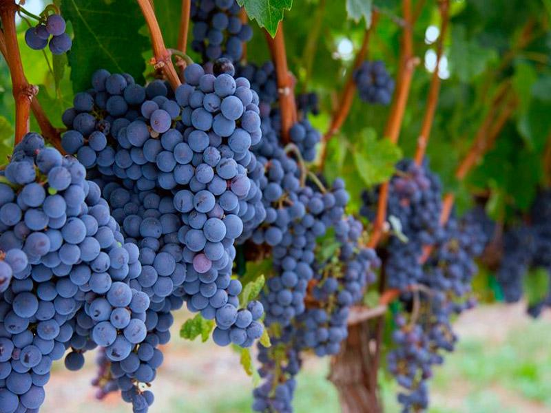 Описание винограда сорта Саперави и правила выращивания