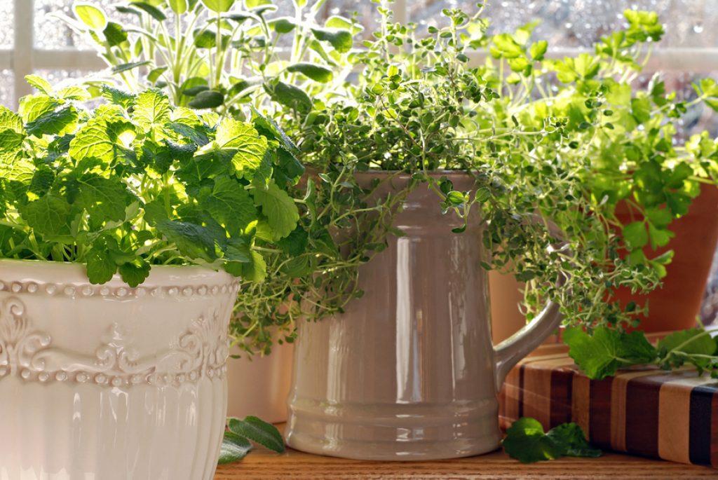 Как вырастить мяту в домашних условиях