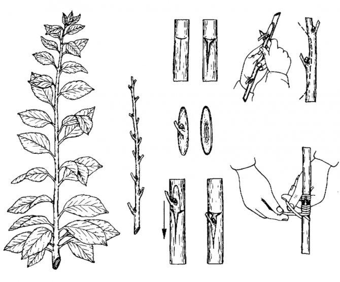 Размножение вишни: черенками летом, порослью, отводками