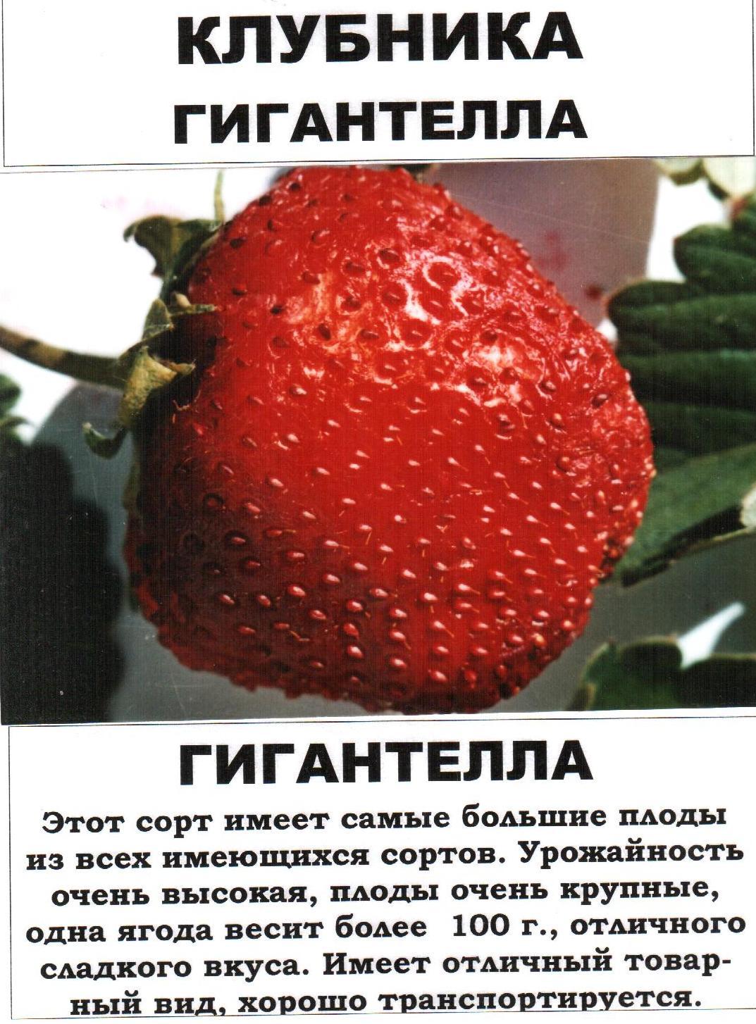 Клубника гигантелла, гигантский деликатес, гигант джорнея - описание сортов и отзывы садоводов