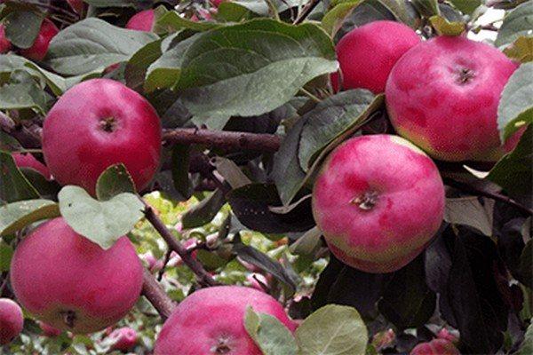 Описание сорта яблони солнышко: фото яблок, важные характеристики, урожайность с дерева