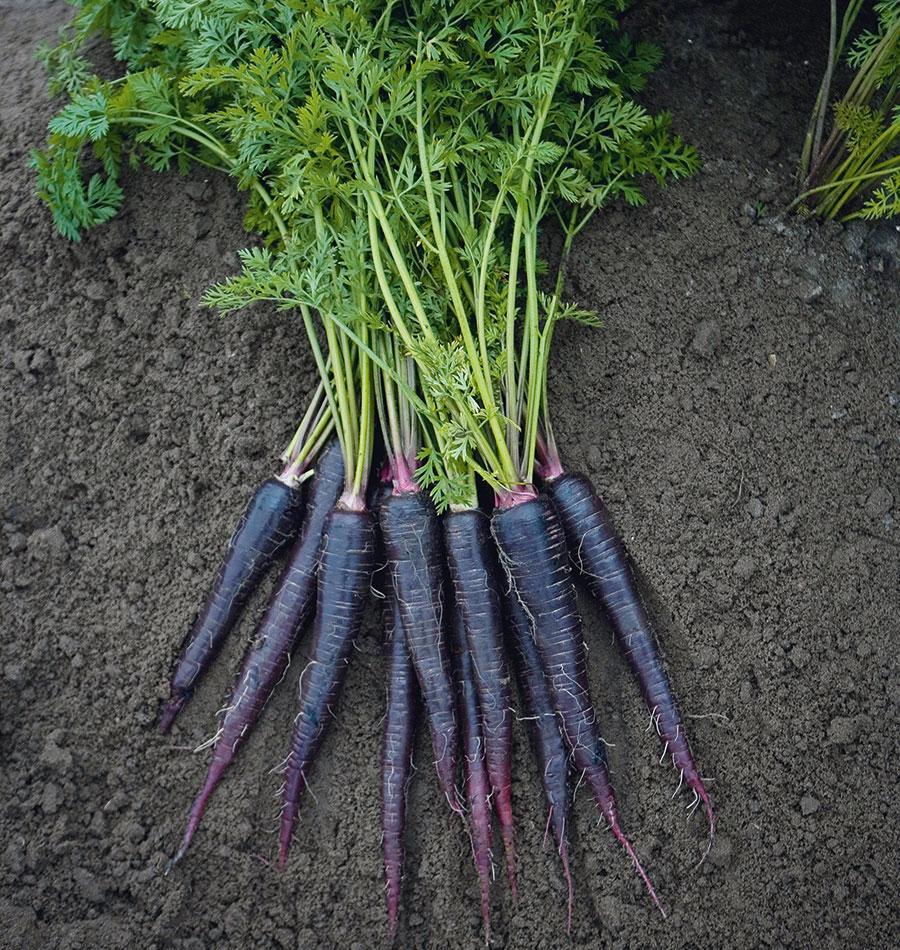 Полезные свойства моркови. состав, противопоказания. фото — ботаничка.ru