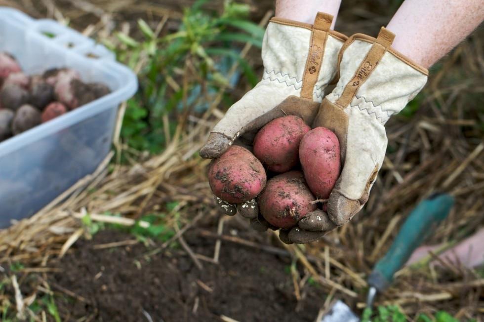 Технология выращивания раннего картофеля: посадка и уход за ним