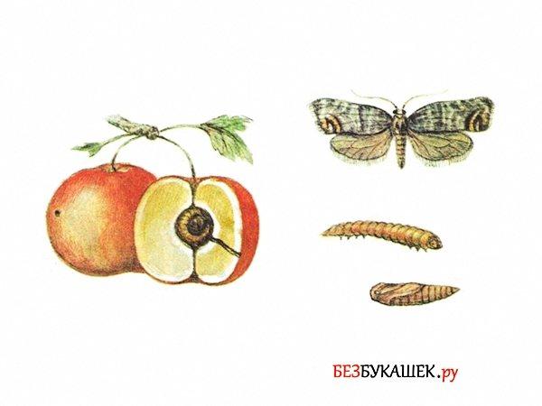 Защищаем яблоню от вредителей и болезней: народные средства