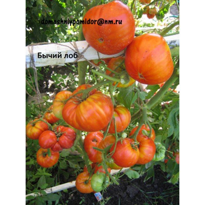 ✅ томат бычий лоб описание сорта фото отзывы - питомник46.рф