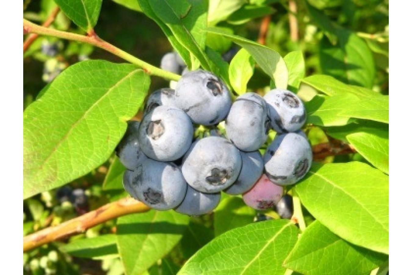 Голубика элизабет: отзывы, фото, описание сорта, правила выращивания и ухода, опылители, урожайность