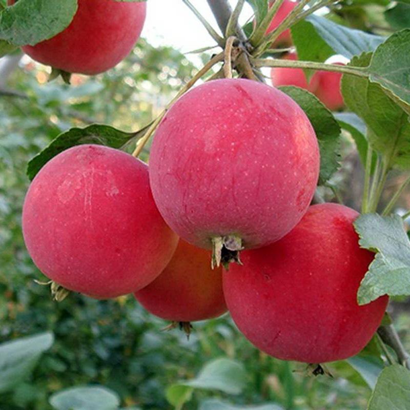 ✅ о яблоне горнист: описание сорта, характеристики, агротехника, выращивание - tehnomir32.ru
