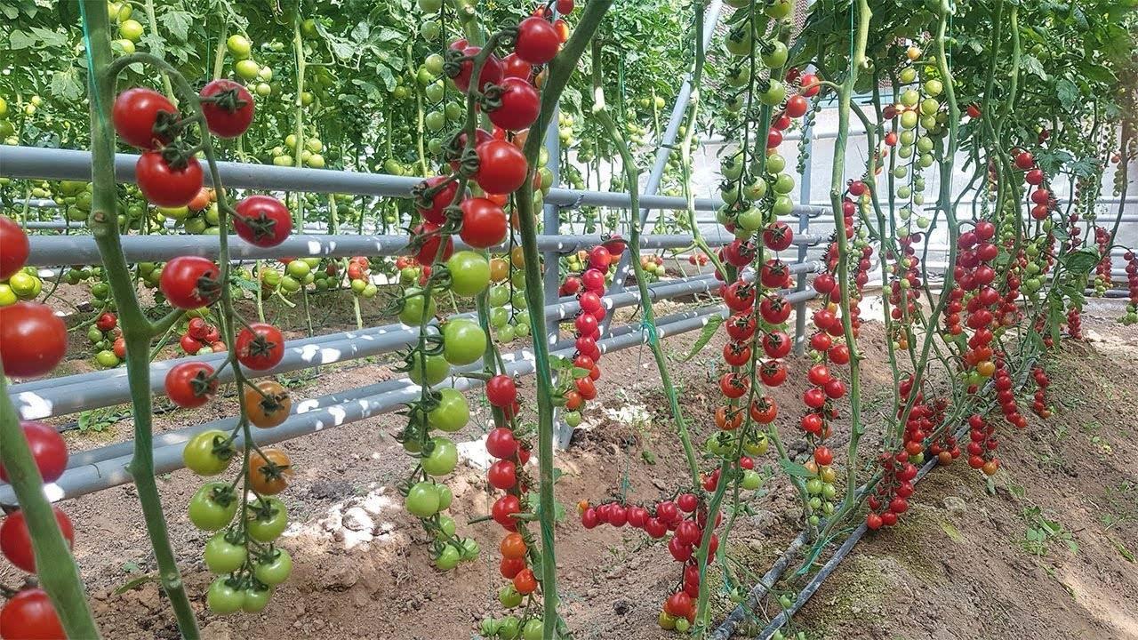 Лучшие сорта томатов для теплиц в 2019 году: описание, отзывы