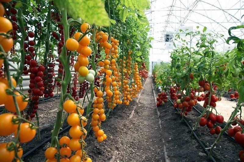 Выращиваем помидоры в теплице 2019. лучшие тепличные сорта + отзывы + уход