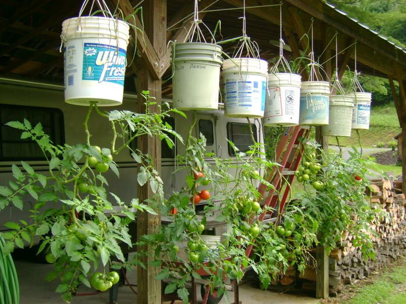 Помидоры вверх ногами: выращивание, в бутылках, ведре, в перевернутом виде, видео, посадка, вертикальное, отзывы