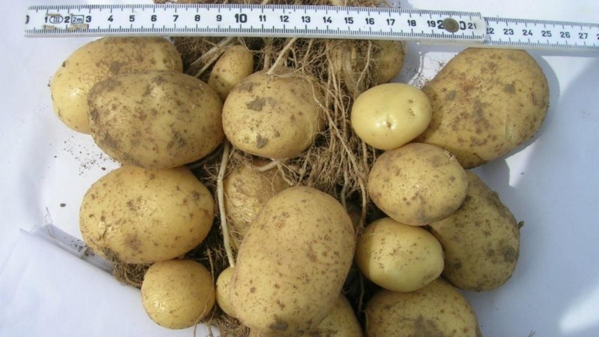 Картофель удача: описание сорта, фото, отзывы, срок созревания, характеристика