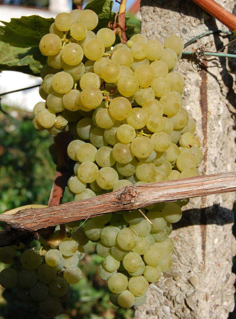 Виноград ркацители (rkatsiteli): что нужно знать о нем, описание сорта, отзывы