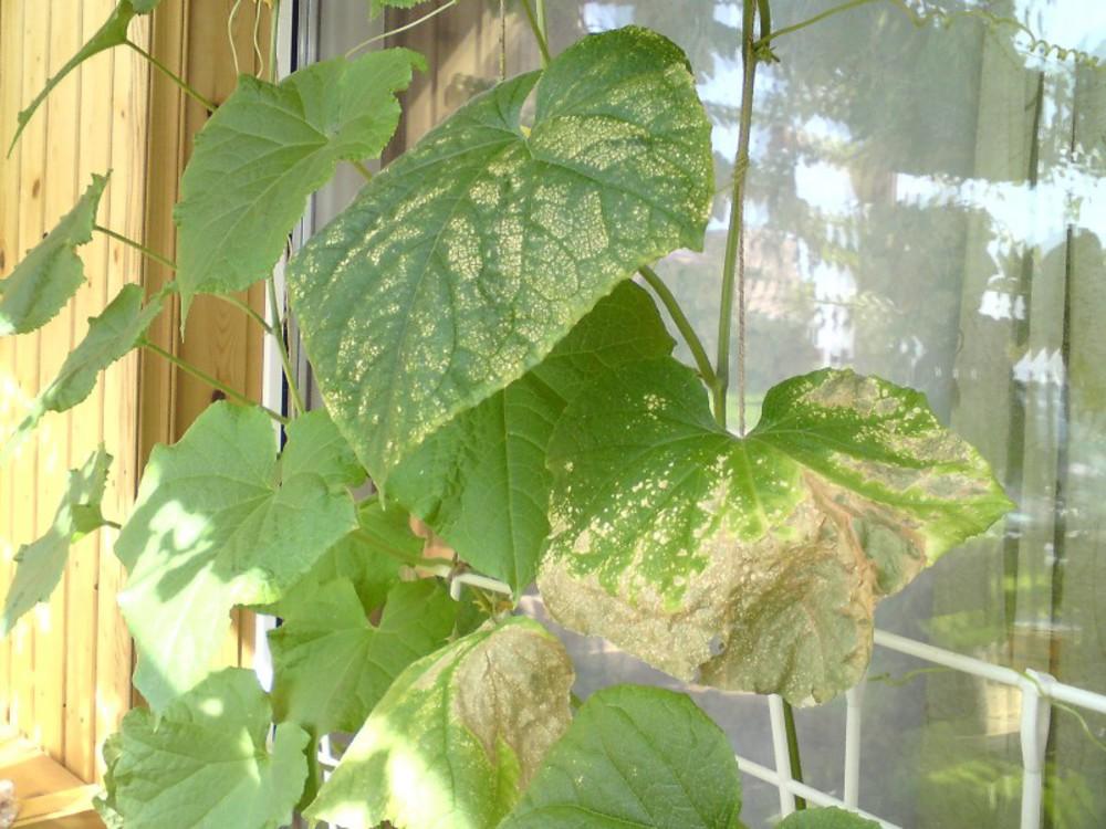 Почему белеют и сохнут листья огурцов