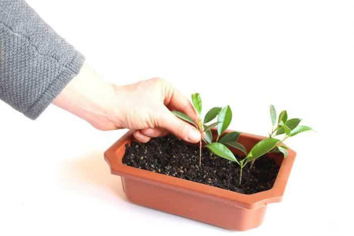 Как можно вырастить вишню из косточки в домашних условиях