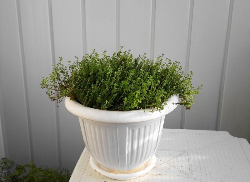Чабрец (тимьян) дома - выращивание, уход и сбор