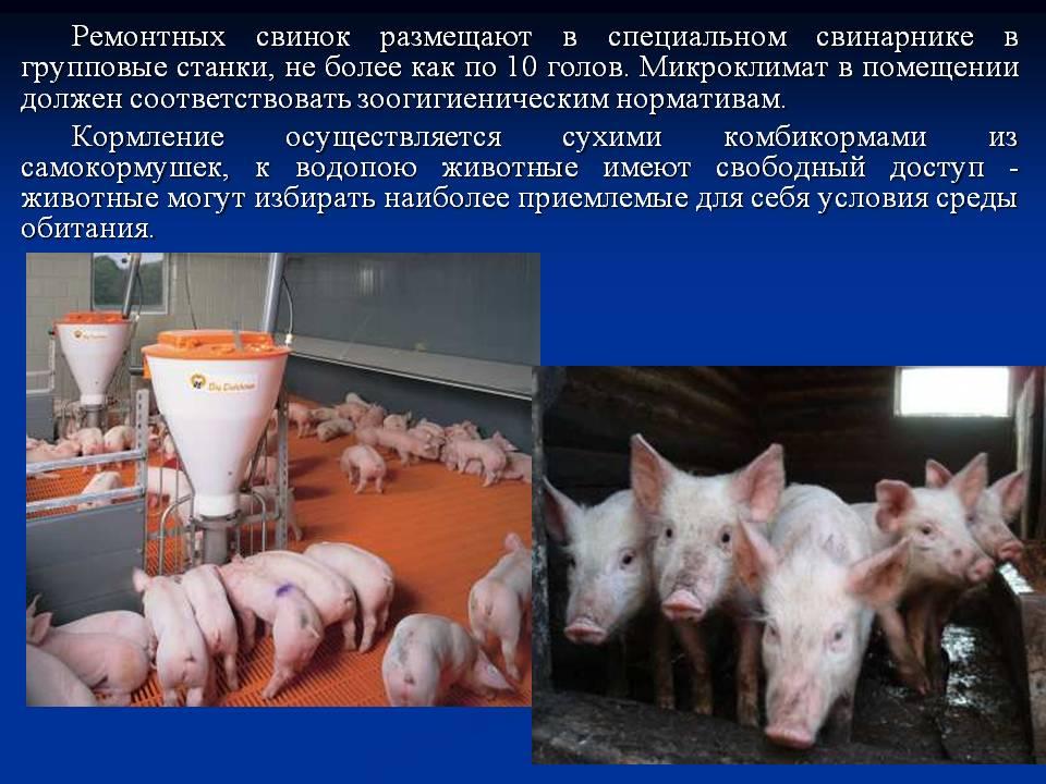 Откорм свиней в домашних условиях