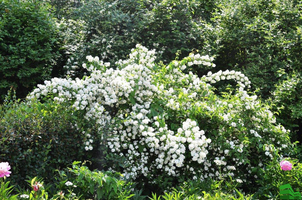 Садовый жасмин – посадка и уход с фото, нюансы по сортам чубушника