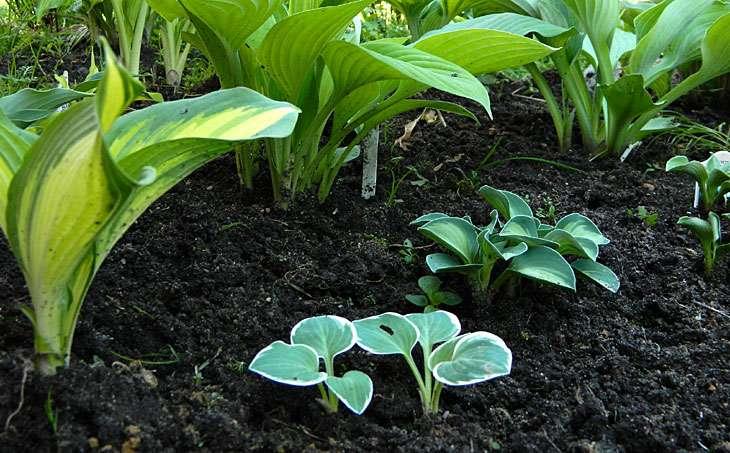 Хоста: посадка и уход за растением в открытом грунте, размножение и популярные сорта