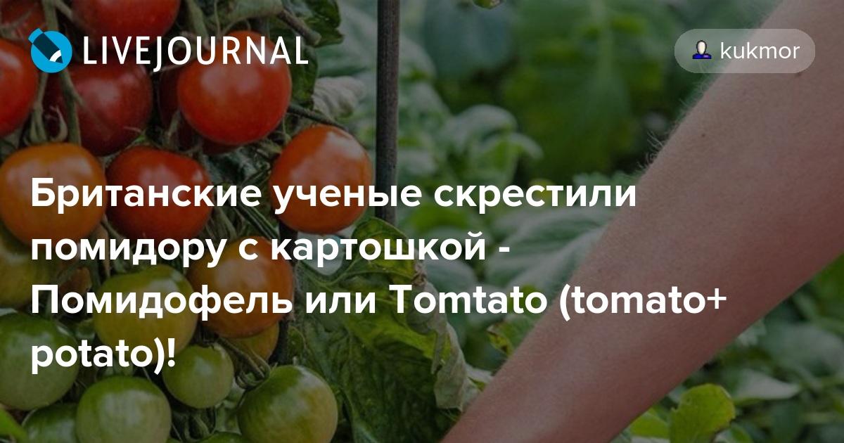 Необычное растение помидофель: описание гибрида, особенности выращивания, отзывы