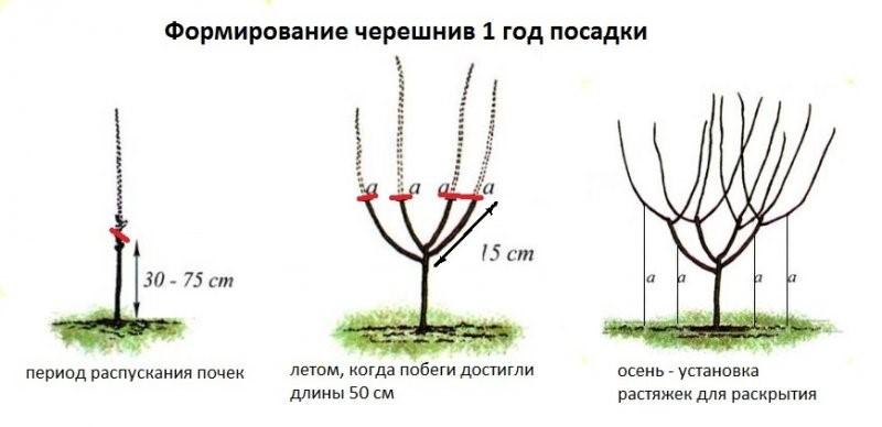 Вишня уральская черешенка: описание сорта, регионы выращивания, посадка и уход