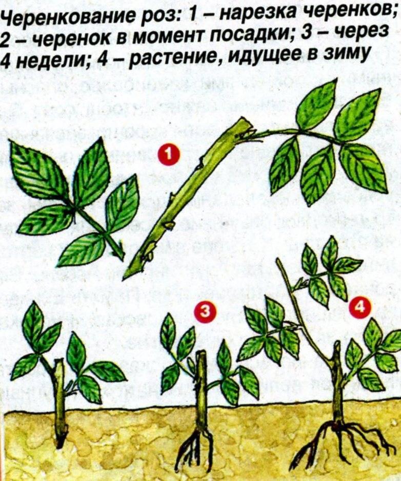 Как размножить войлочную вишню: отводками, черенками и семенами