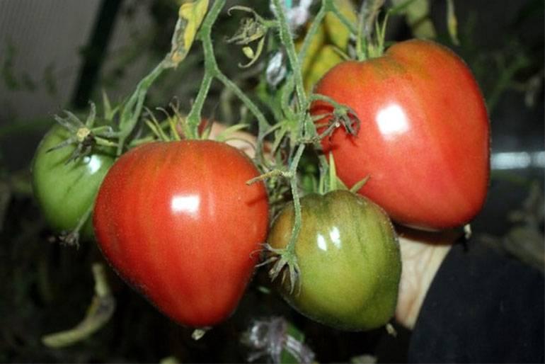 Томат буденовка: урожайность, характеристика и описание сорта, отзывы дачников и фото помидоров